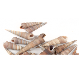 Ракушки Мадагаскар